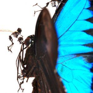 Tessa Farmer: Butterfly (Detail), 2011. Schmetterling, Pflanzenfasern, Insektenflügel
